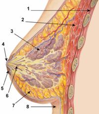 la mammella